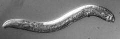 worm-autotomy